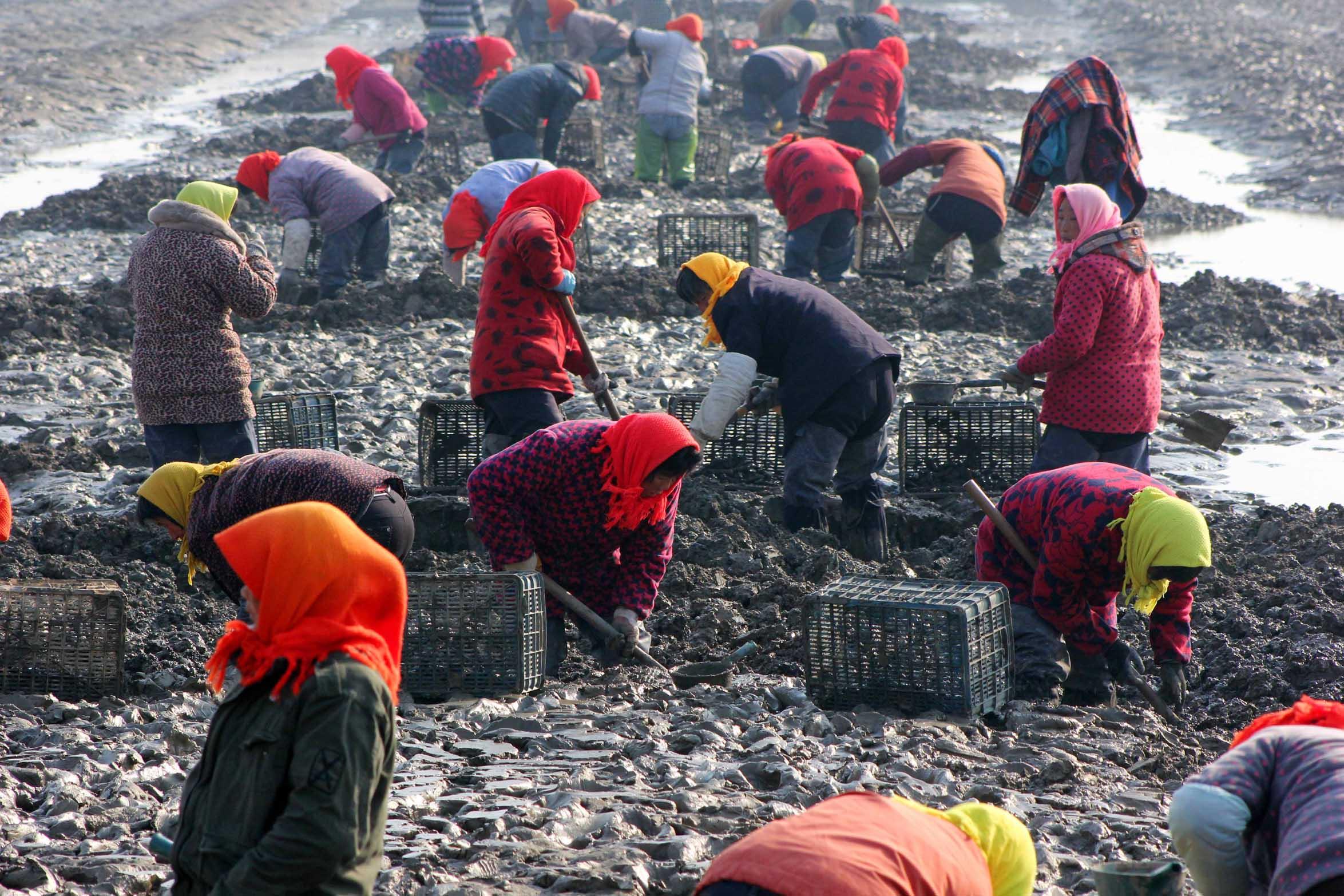 11月30日,江苏省赣榆县海头镇沿海渔家女在收获缢蛏.